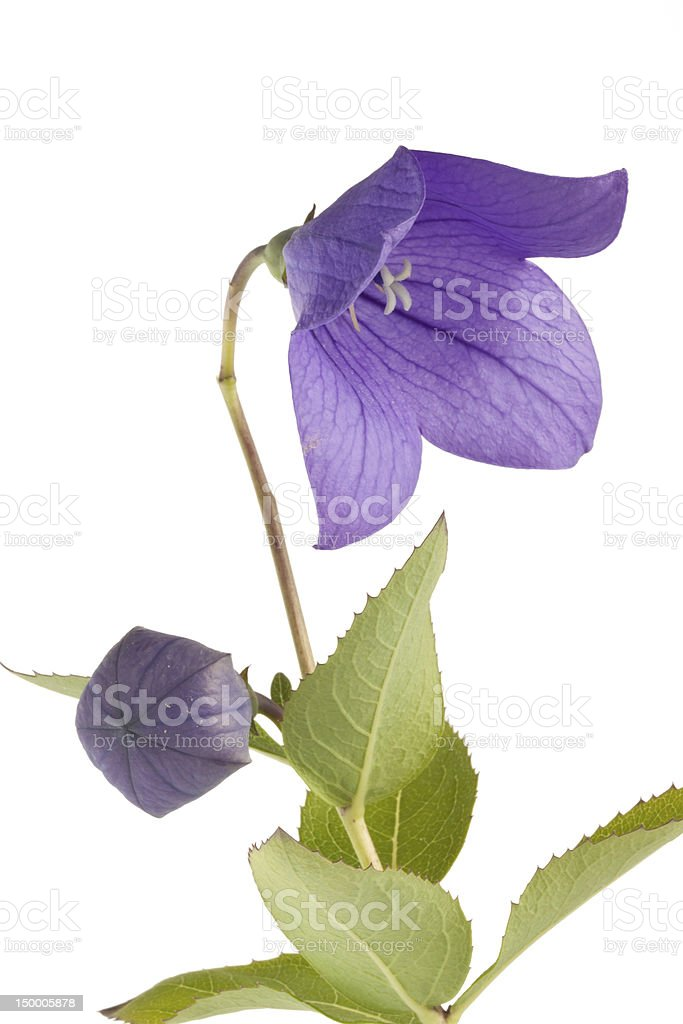 Purple Ballon flower (Platycodon grandiflorus) isolated on white background stock photo