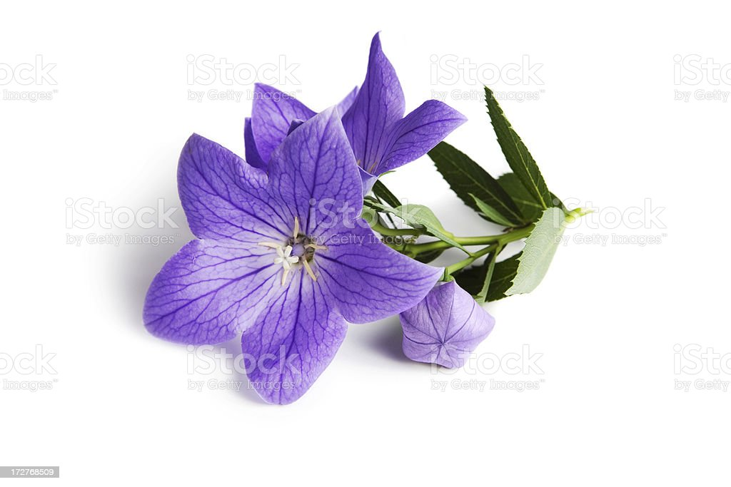 Purple Balloon Flower and Bud (Platycodon grandiflorus) stock photo