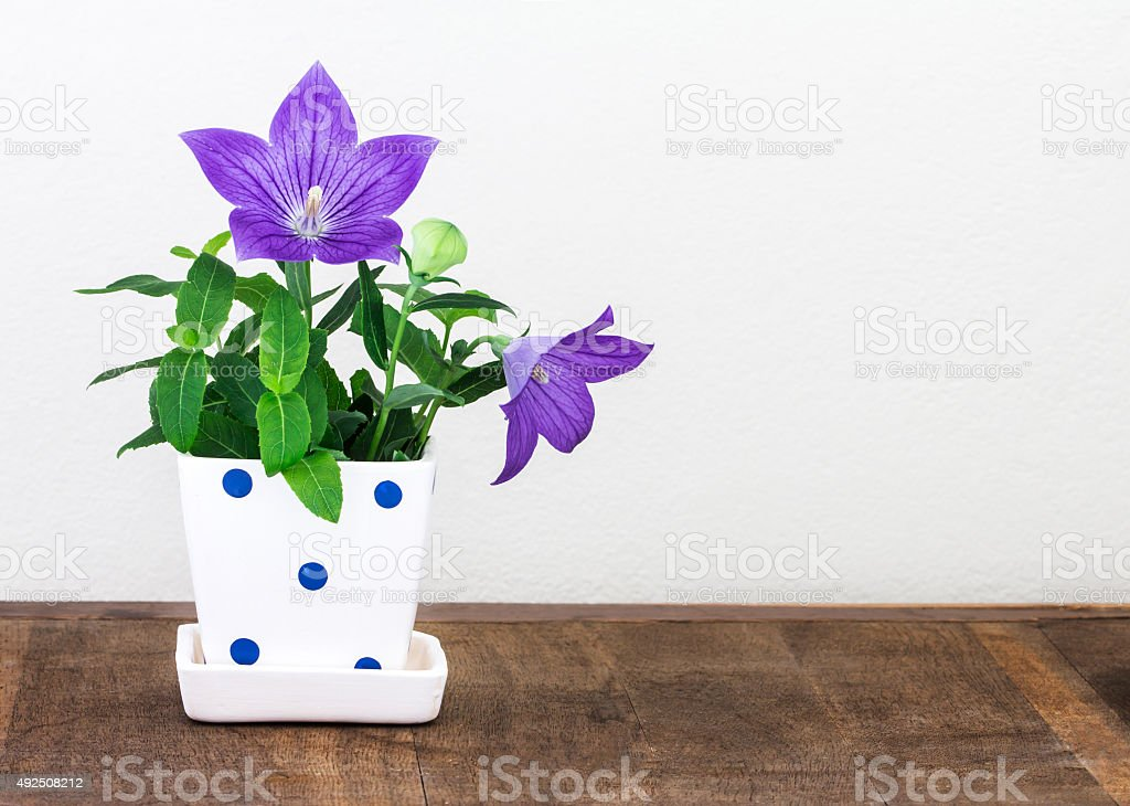 purple balloon flower  in cute pot on wooden table stock photo