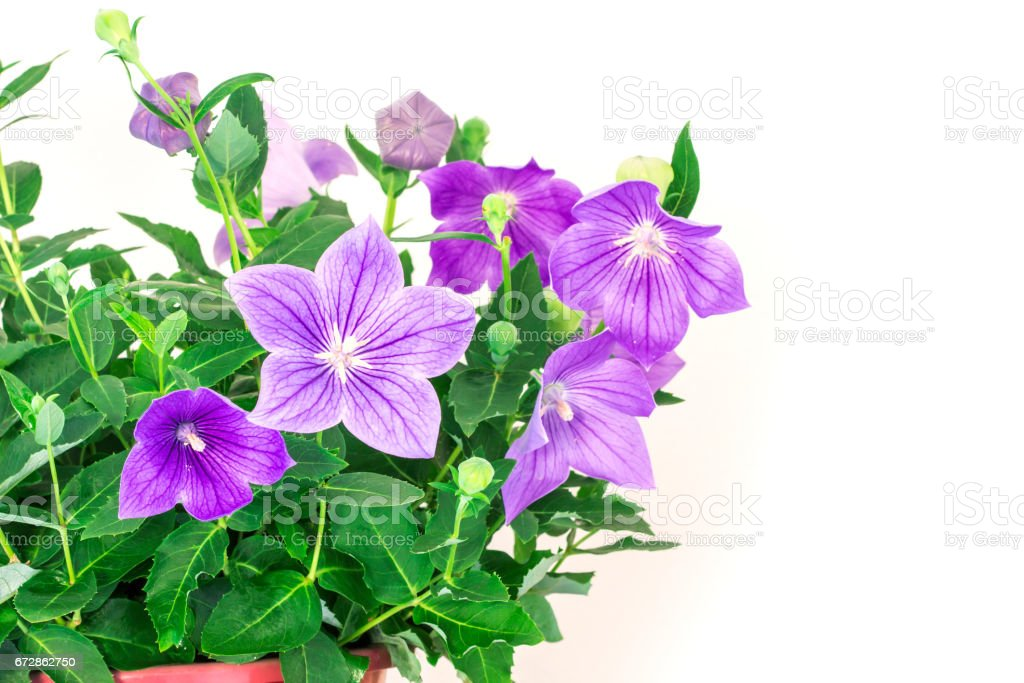 purple balloon flower or Platycodon grandiflorus flower stock photo