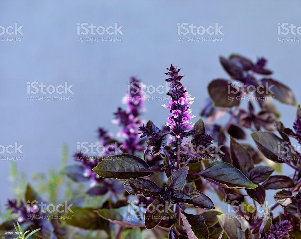 Purple basil, gray background stock photo