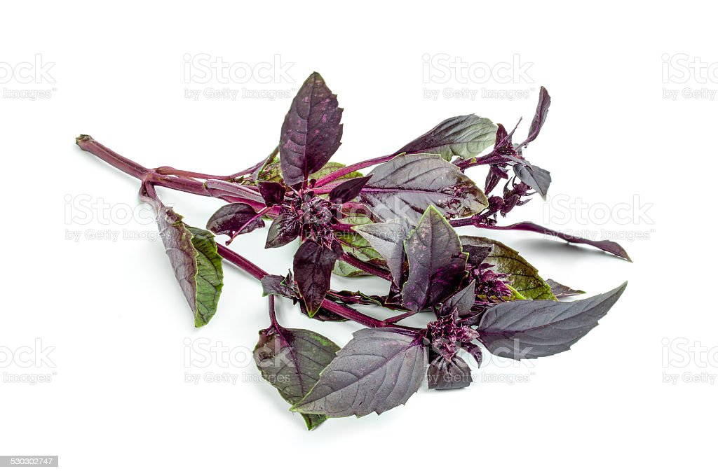 Purple basil isolated on white background stock photo