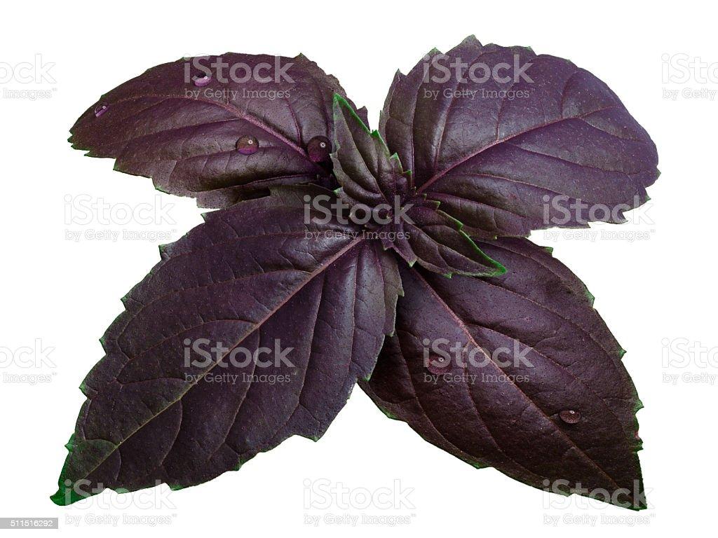 Purple basil isolated on white stock photo