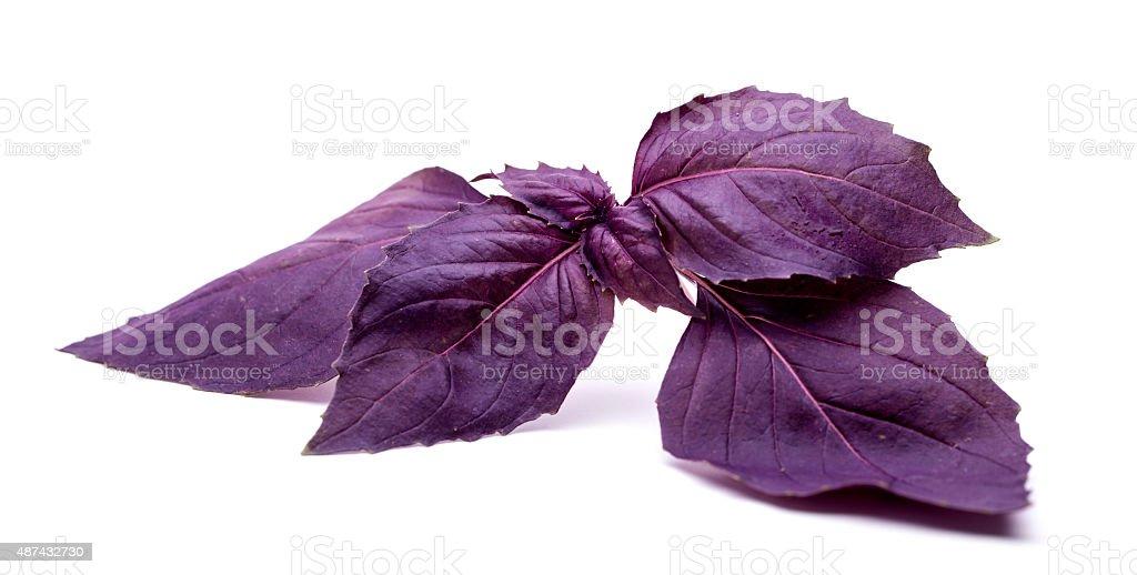 Purple basil on white background stock photo