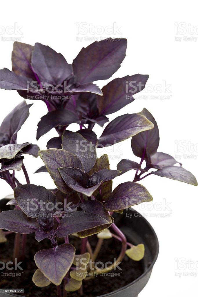 purple basil royalty-free stock photo