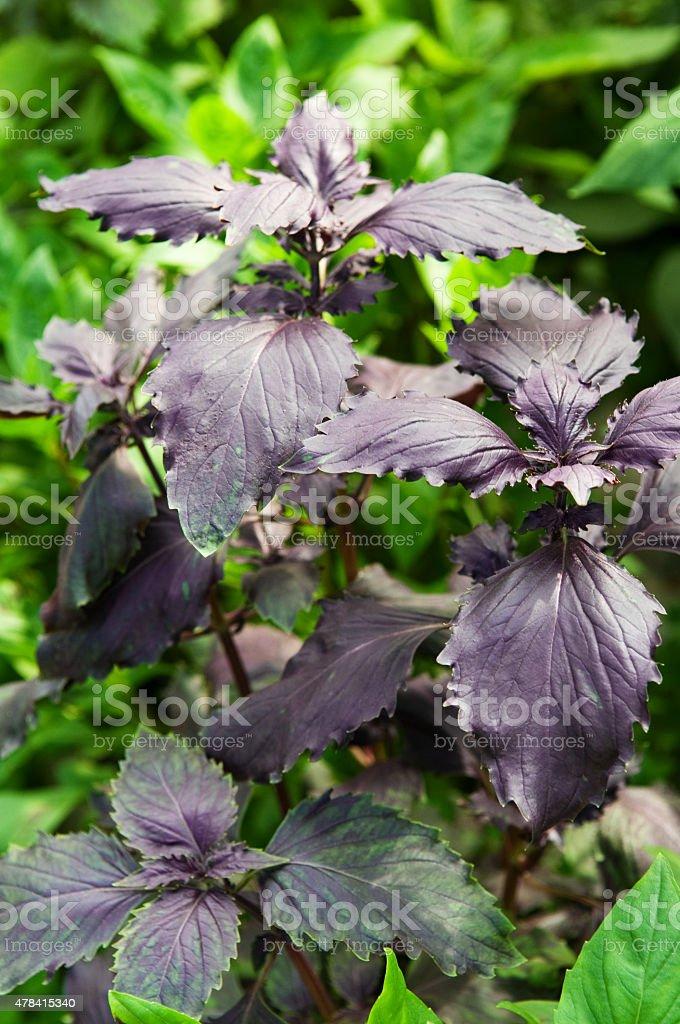 Purple basil stock photo