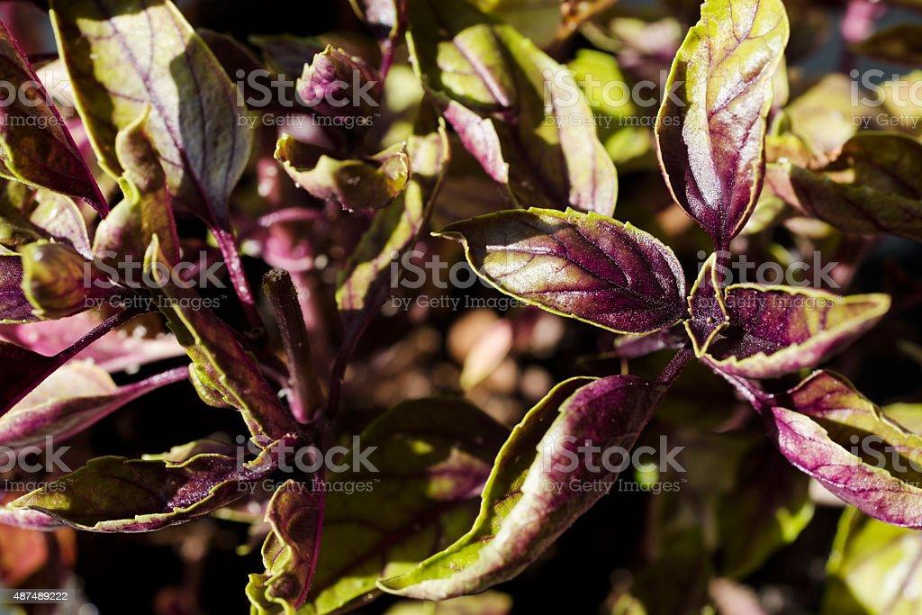 Purple Basil plant stock photo