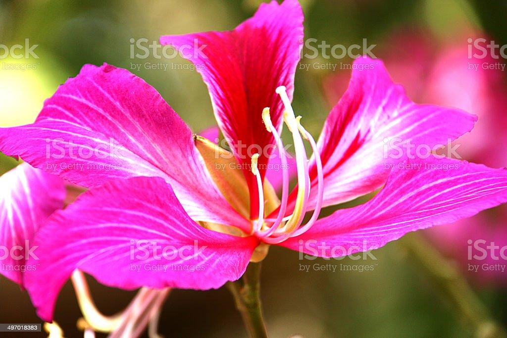 Purple Bauhinia royalty-free stock photo
