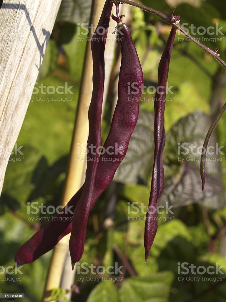 purple beans royalty-free stock photo