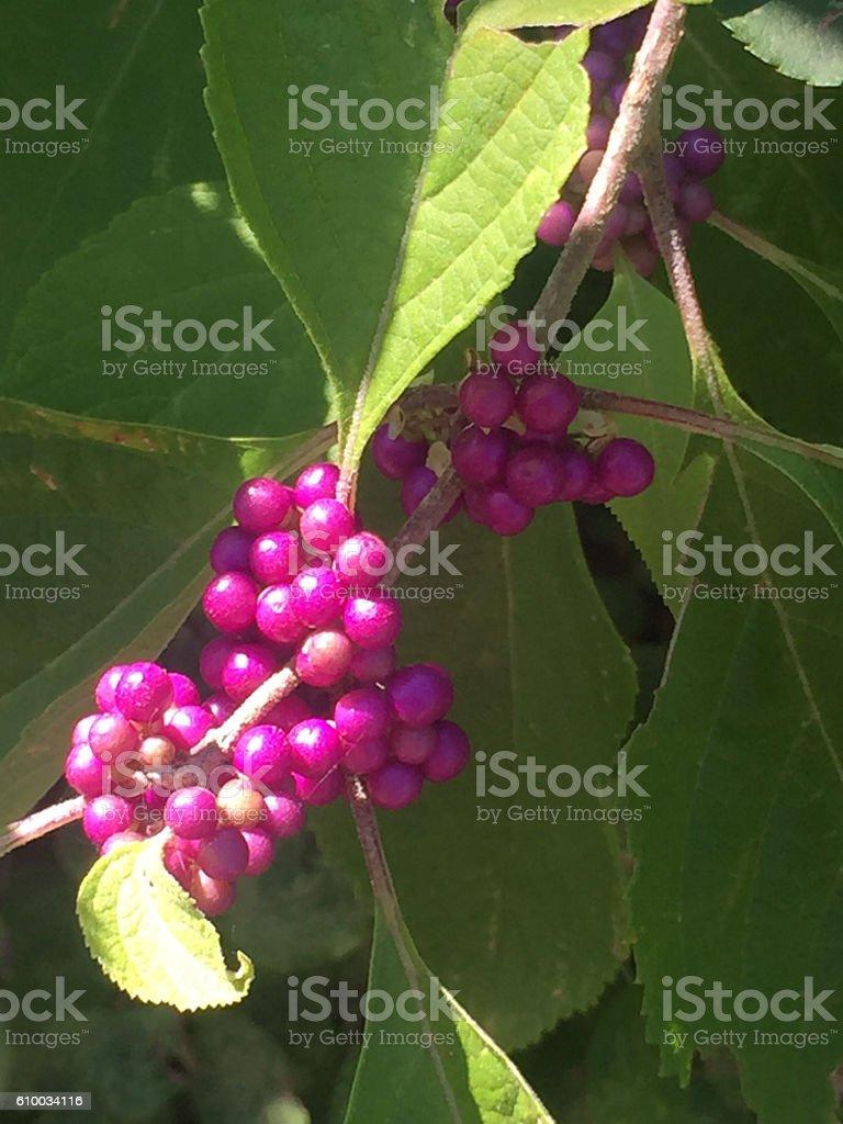 Purple Beautyberry (Callicarpa bodinieri) stock photo