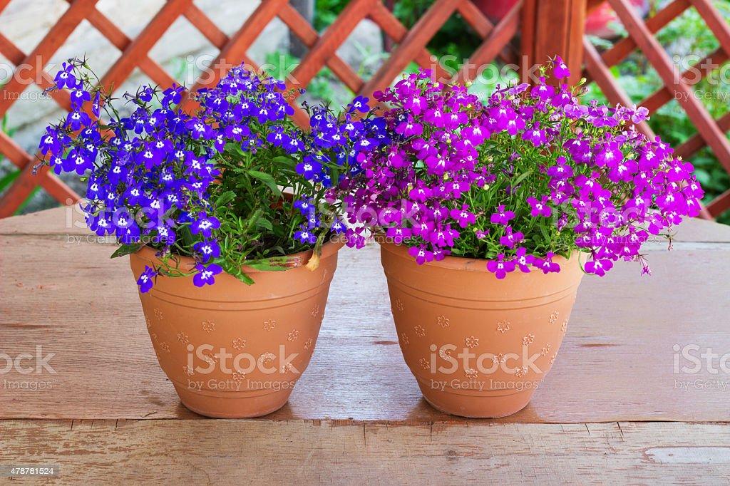 Purple bell flowers in beautiful sunlight two pots of pink stock photo