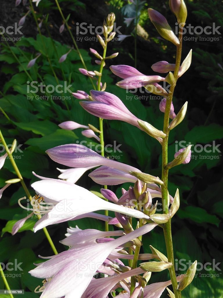 Purple bell flowers stock photo