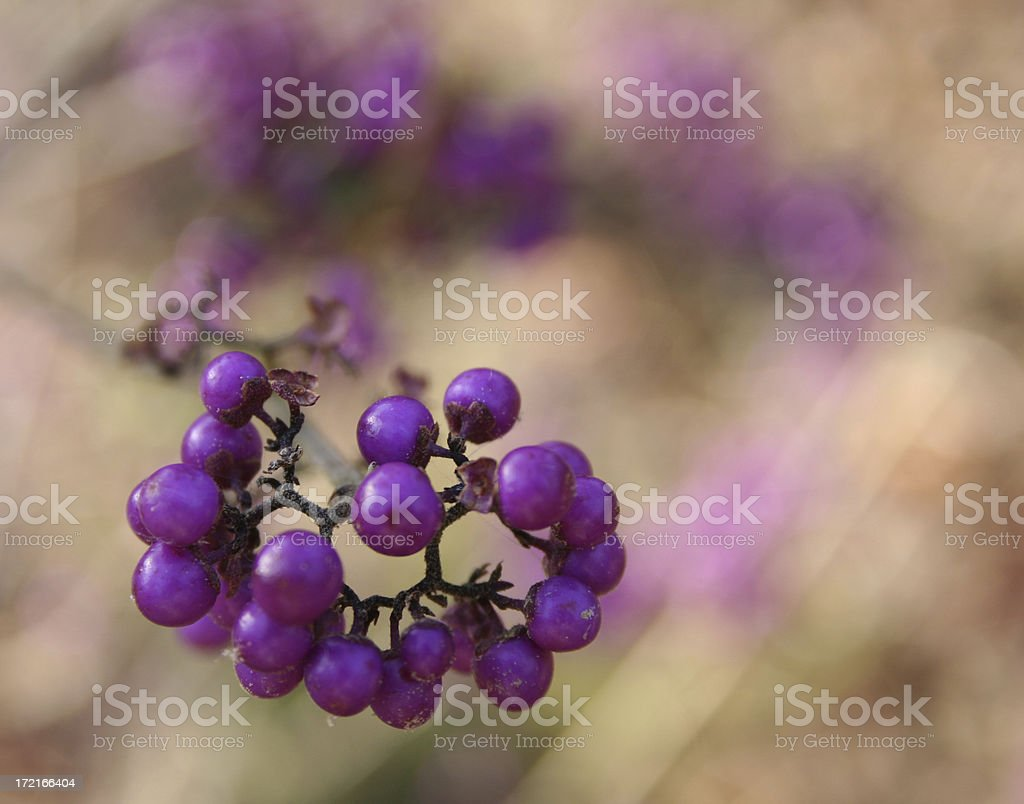 purple berries royalty-free stock photo