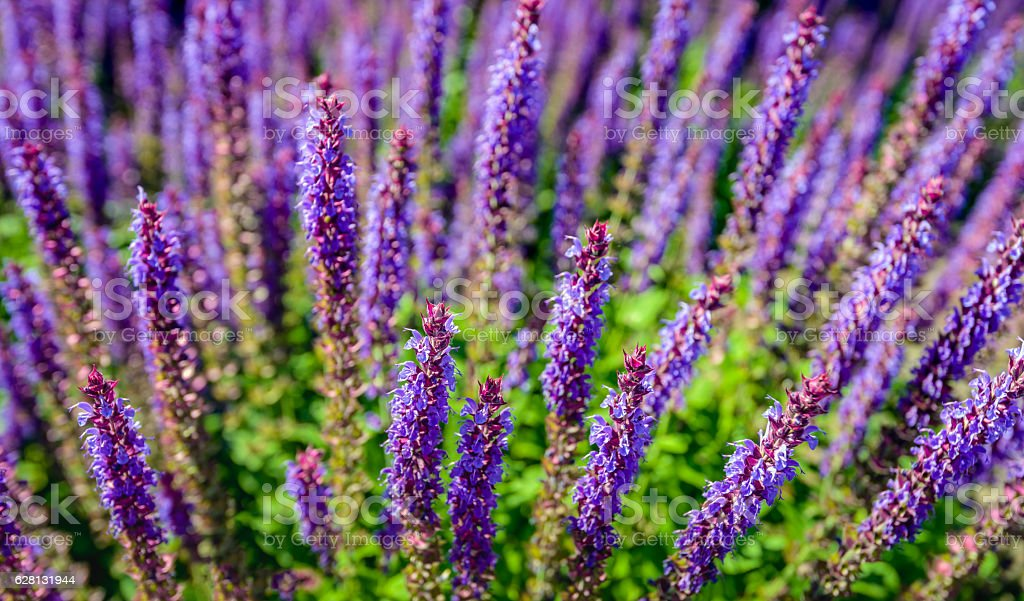 Purple blooming woodland sage from close stock photo
