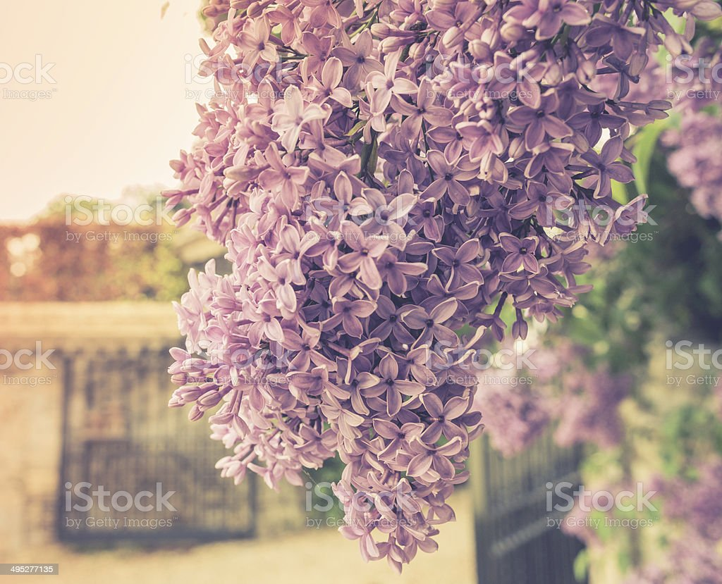 Purple Blossoms 02 royalty-free stock photo