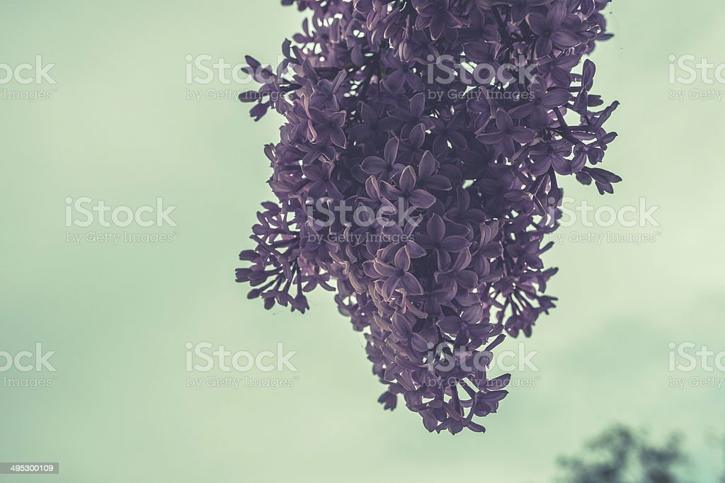 Purple Blossoms 03 royalty-free stock photo