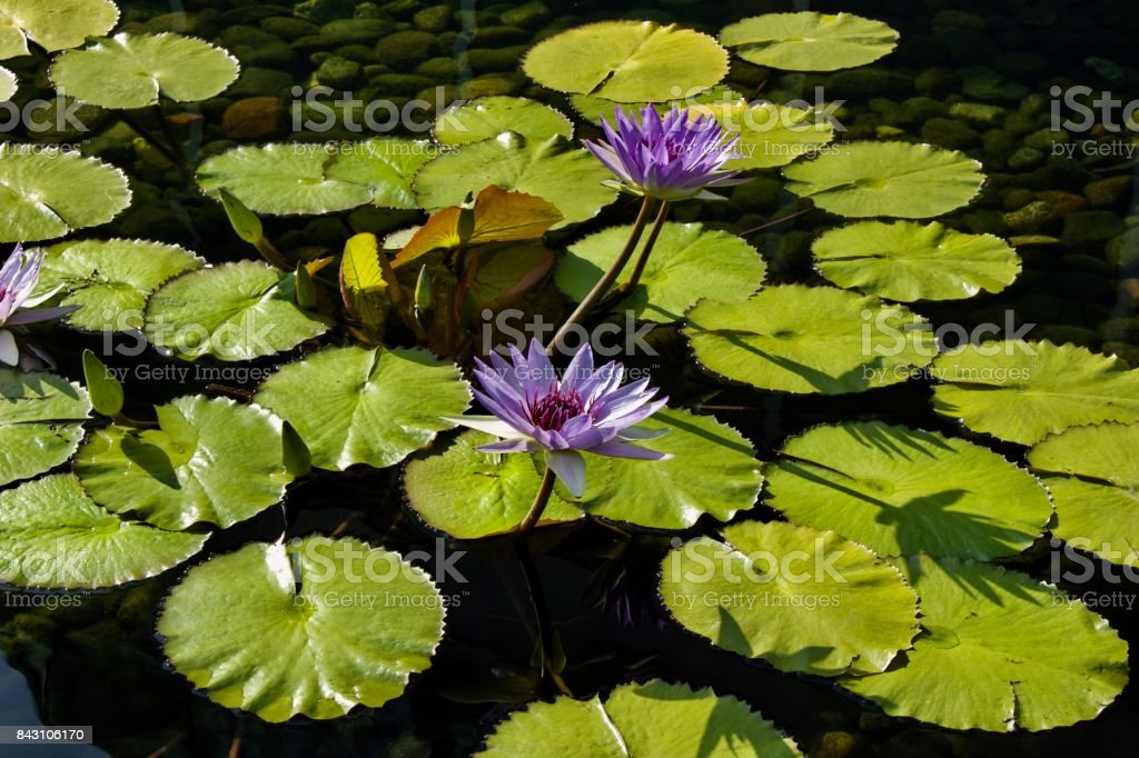 Purple Blue Water Lily Background stock photo