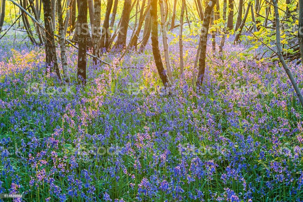 Purple Bluebells with Evenin Light stock photo