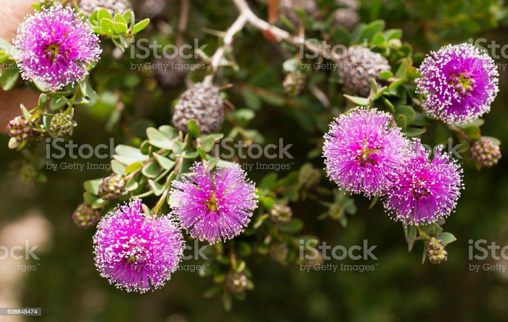 Purple Bottlebrush Flower stock photo