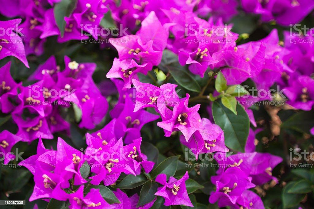 Purple bougainvillea close up with multiple flowers stock photo