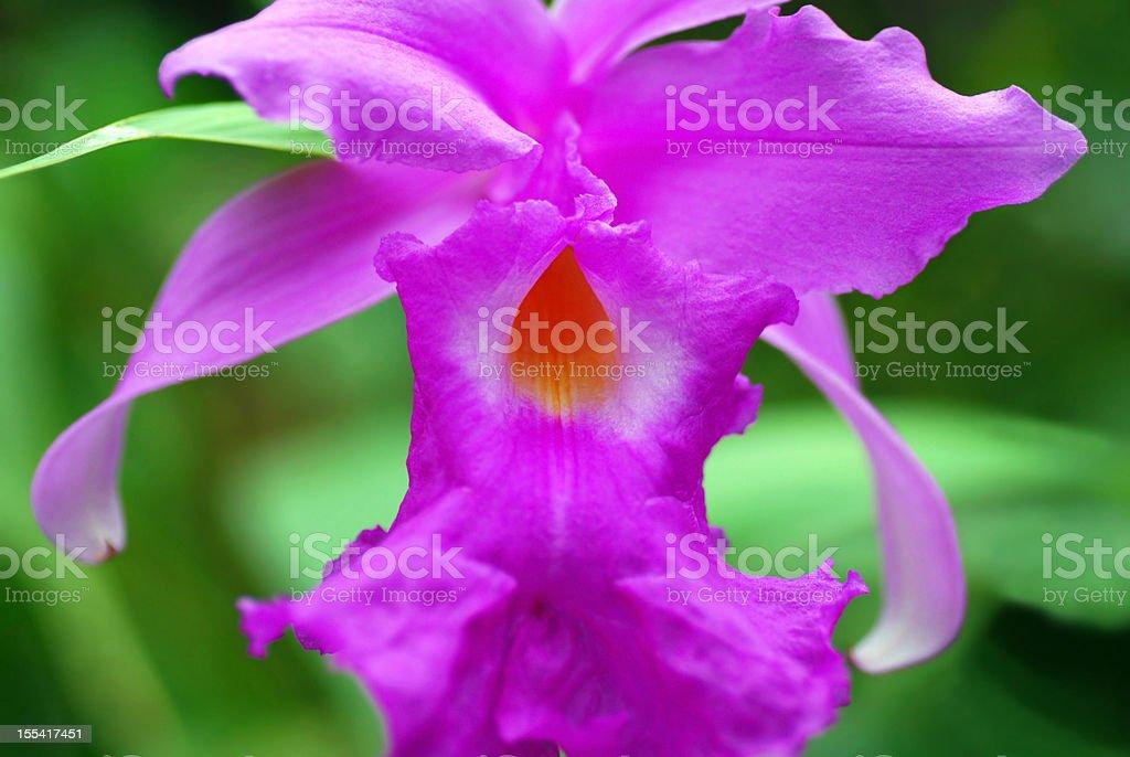 Purple bunga orkid orchid stock photo