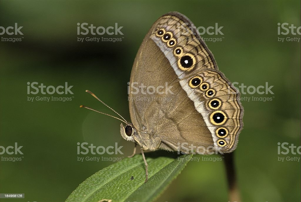 Purple Bush Brown (Mycalesis orseis) in Singapore royalty-free stock photo