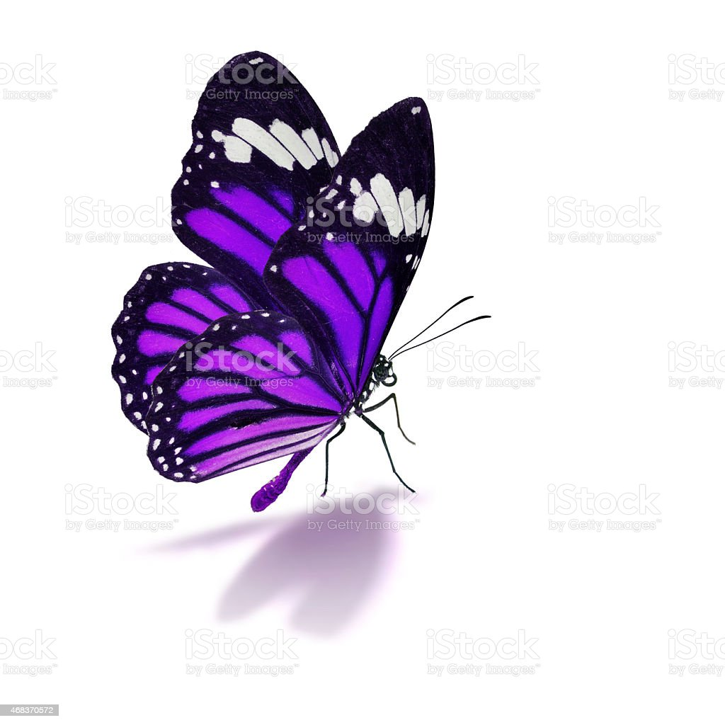 Purple butterfly on white background stock photo