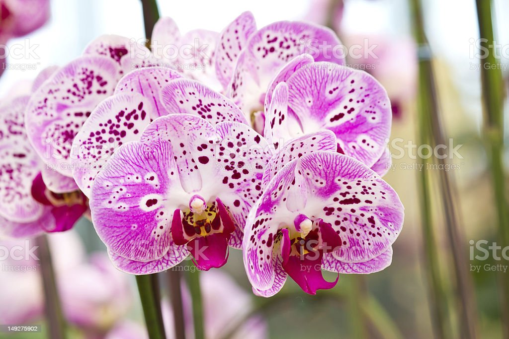 Purple butterfly orchids of the Phalaenopsis genus royalty-free stock photo