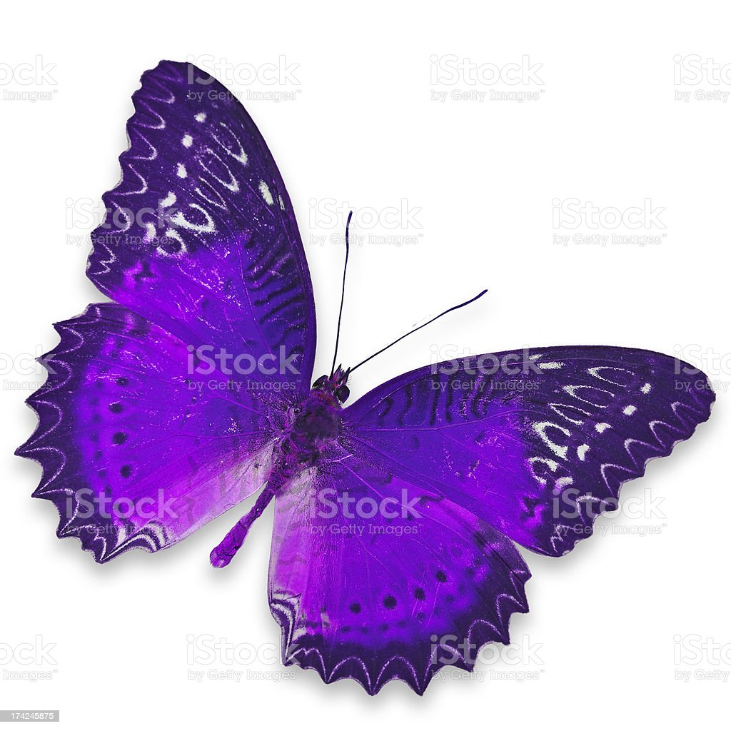 Purple Butterfly royalty-free stock photo