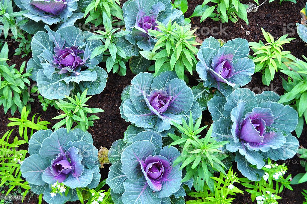 Purple Cabbage flower stock photo