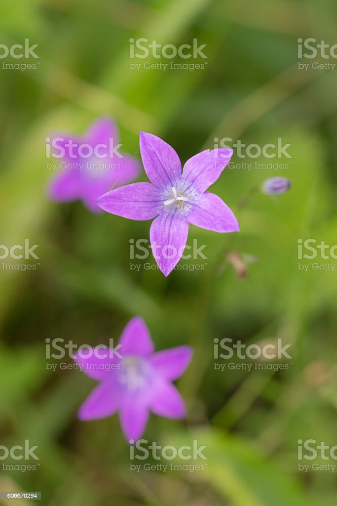 purple campanula close up stock photo