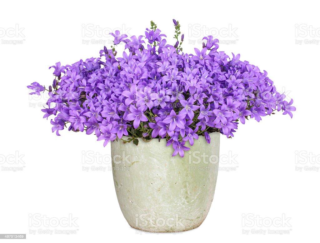 Purple campanula, isolated stock photo