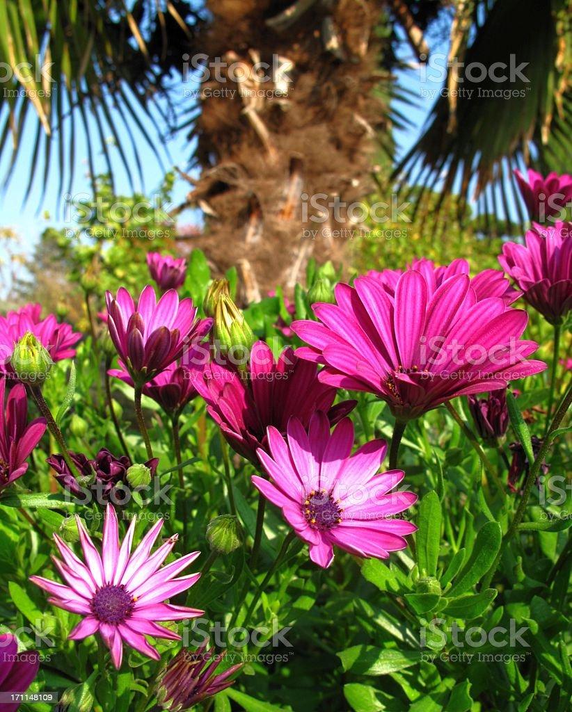 Purple Cape Daisy stock photo
