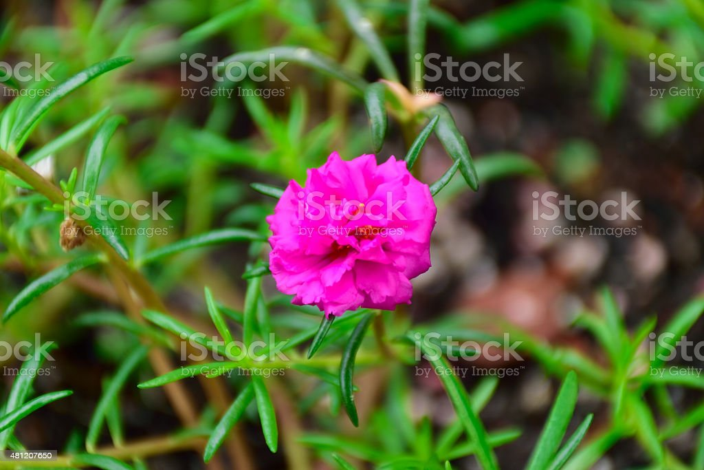 Purple Carnation stock photo