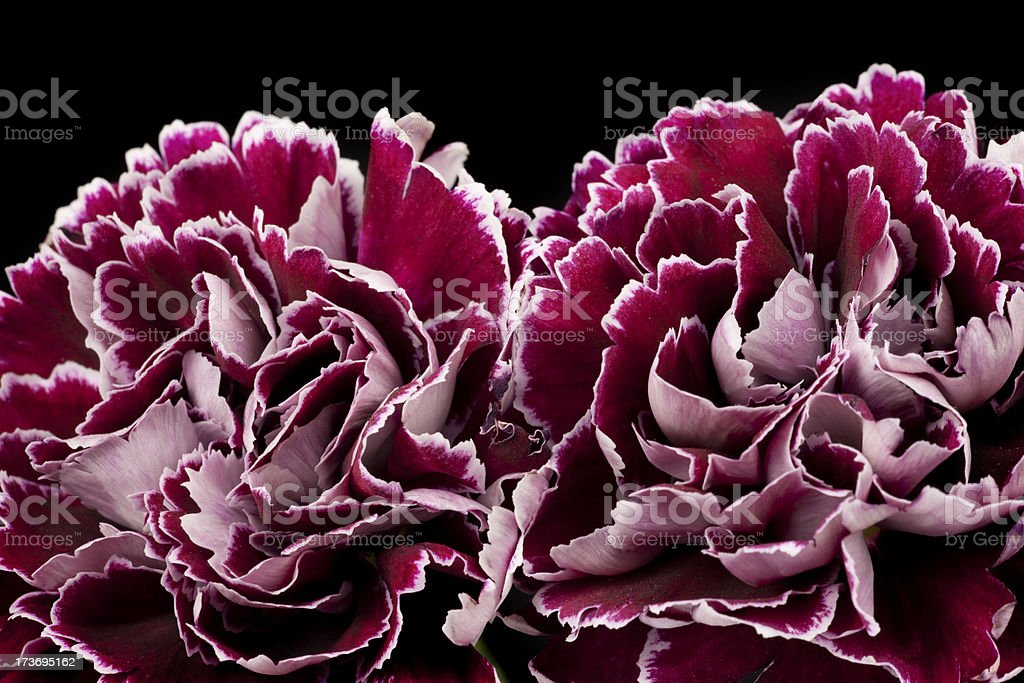 Purple Carnations, Flower, Petal, Isolated-on-Black, Bouquet royalty-free stock photo