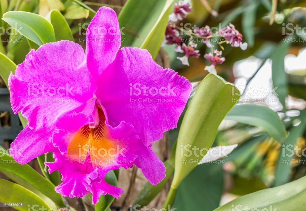Purple Cattleya orchid, blooming in farm. stock photo