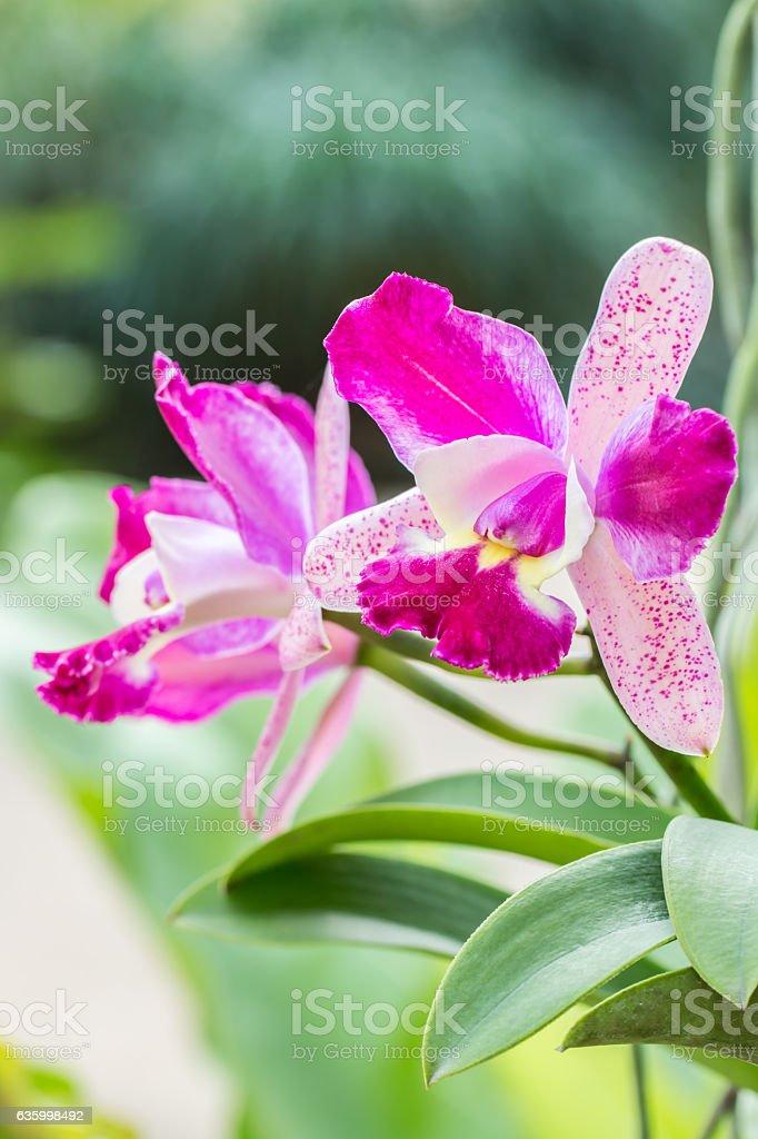 Purple Cattleya orchid. stock photo