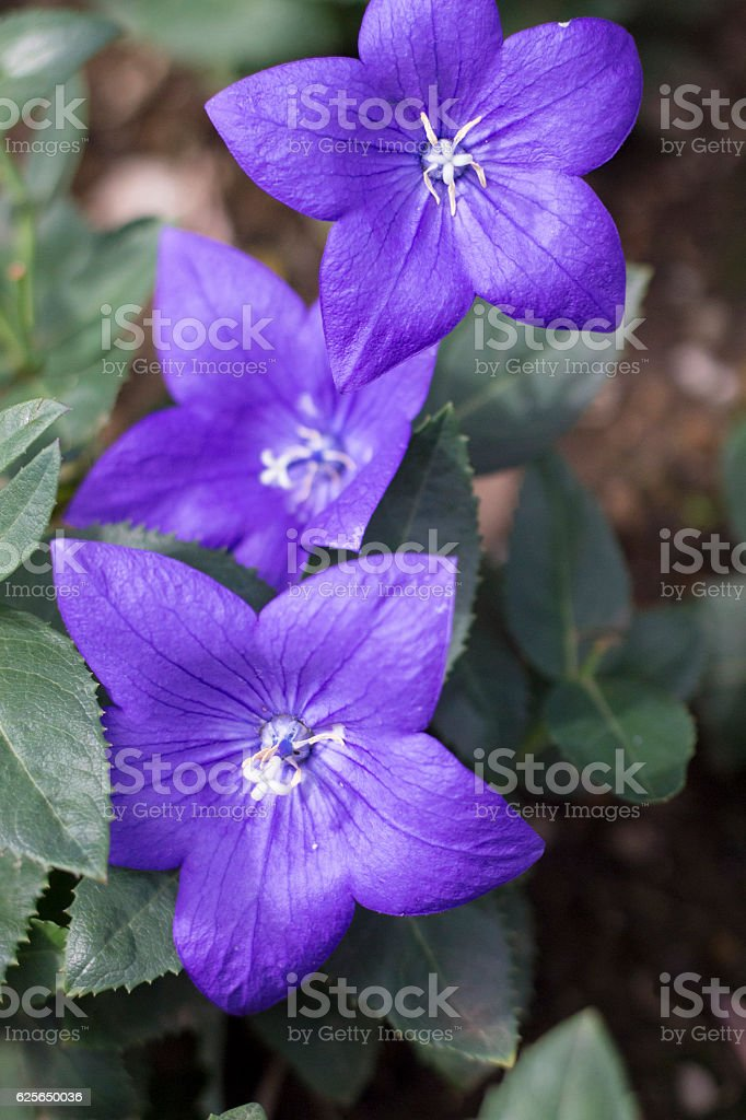 Purple Chinese bellflowers stock photo