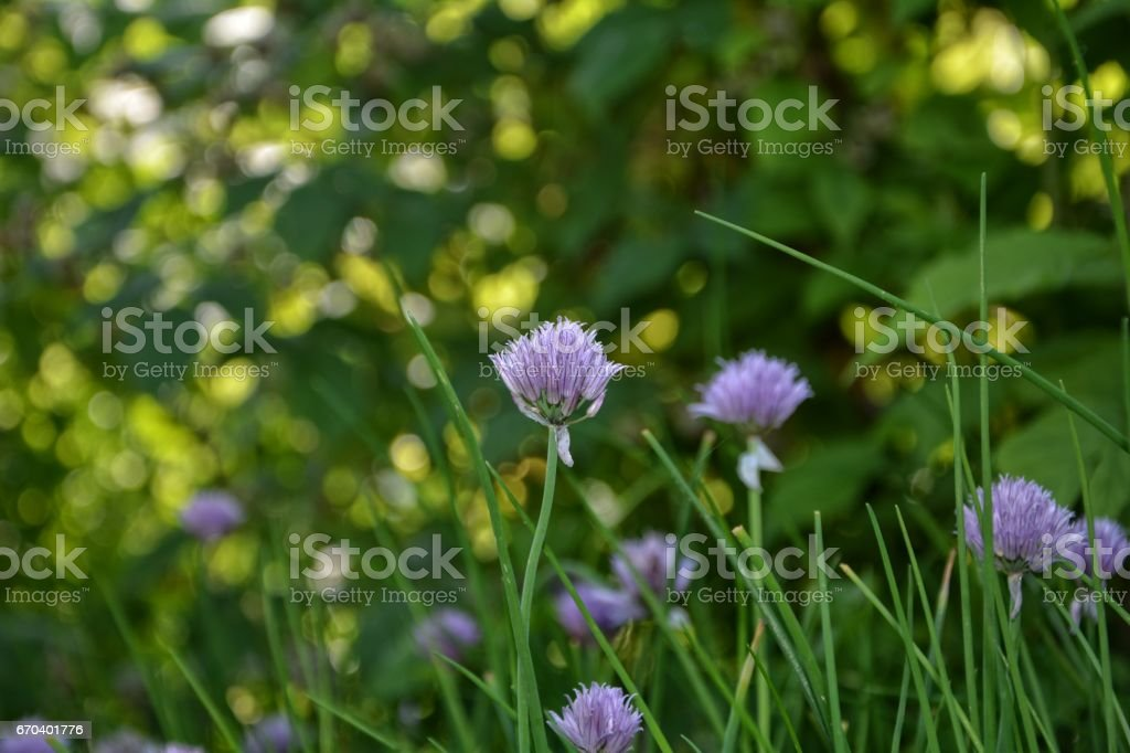 Purple chive blossom stock photo