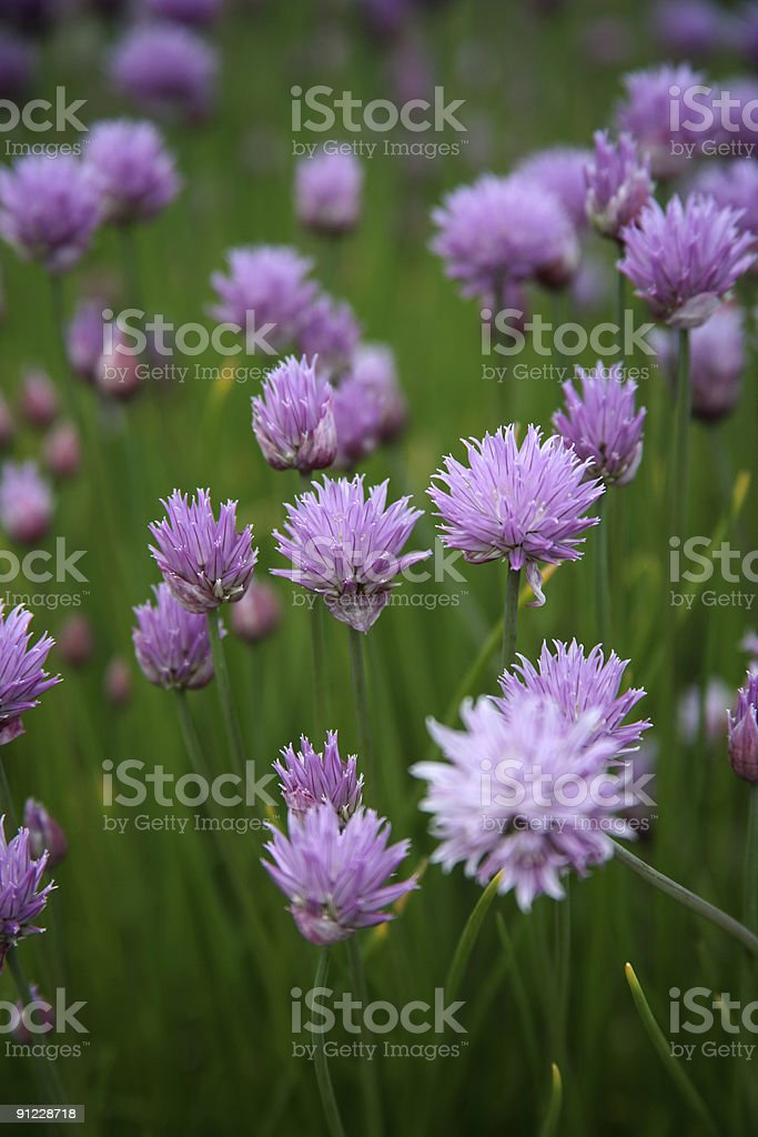 Purple Chive Blossoms royalty-free stock photo