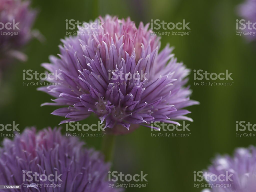 Purple Chive Heads  royalty-free stock photo