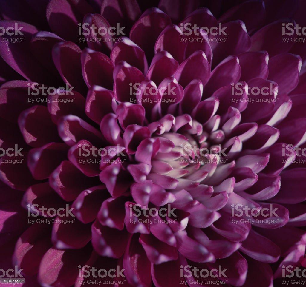 Purple Chrysanthemum close up stock photo