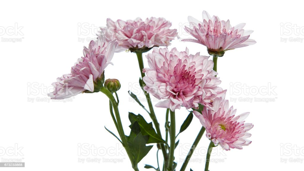 purple chrysanthemum flower stock photo