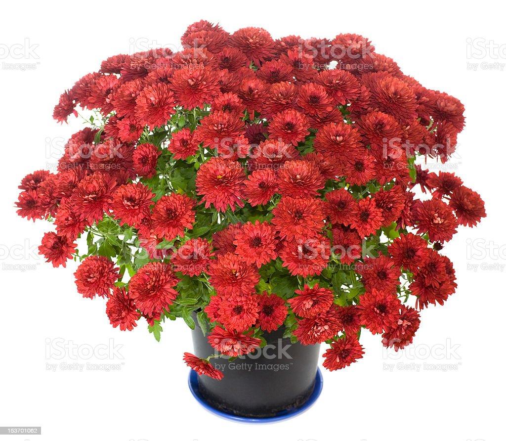 purple chrysanthemum n flowerpot stock photo