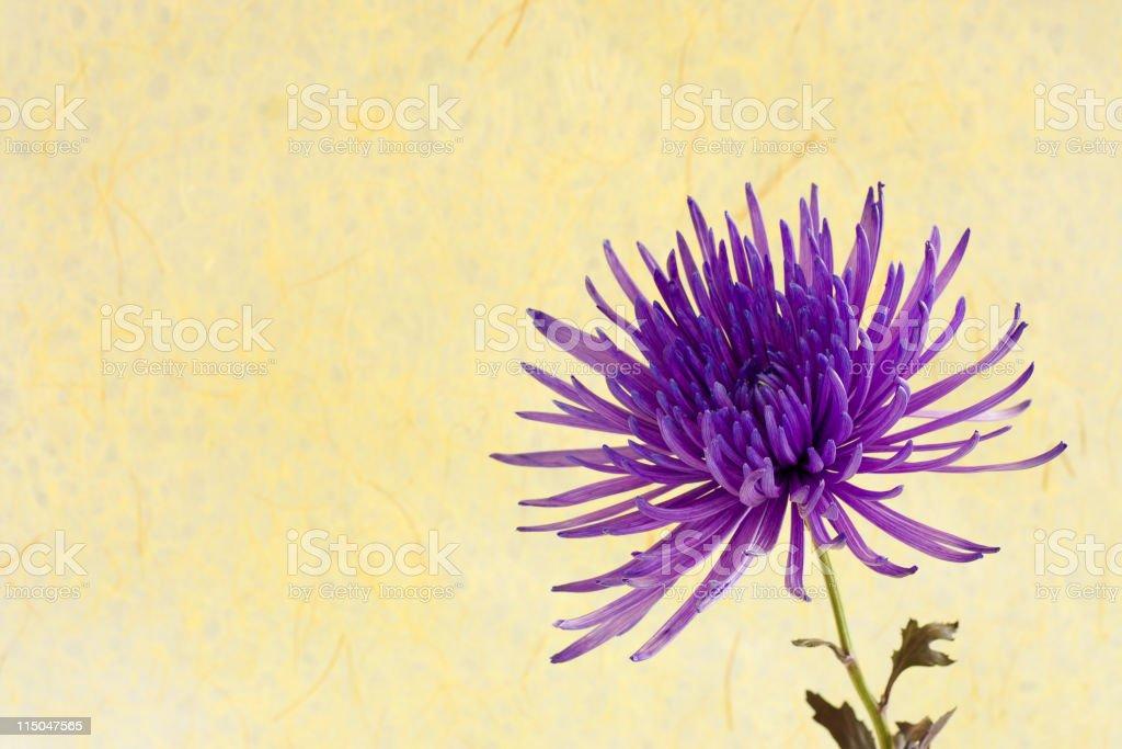 Purple Chrysanthemum stock photo