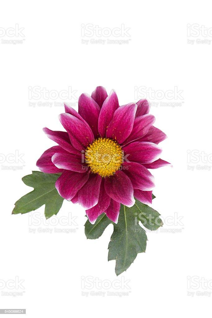 purple Chrysanthemums flower stock photo