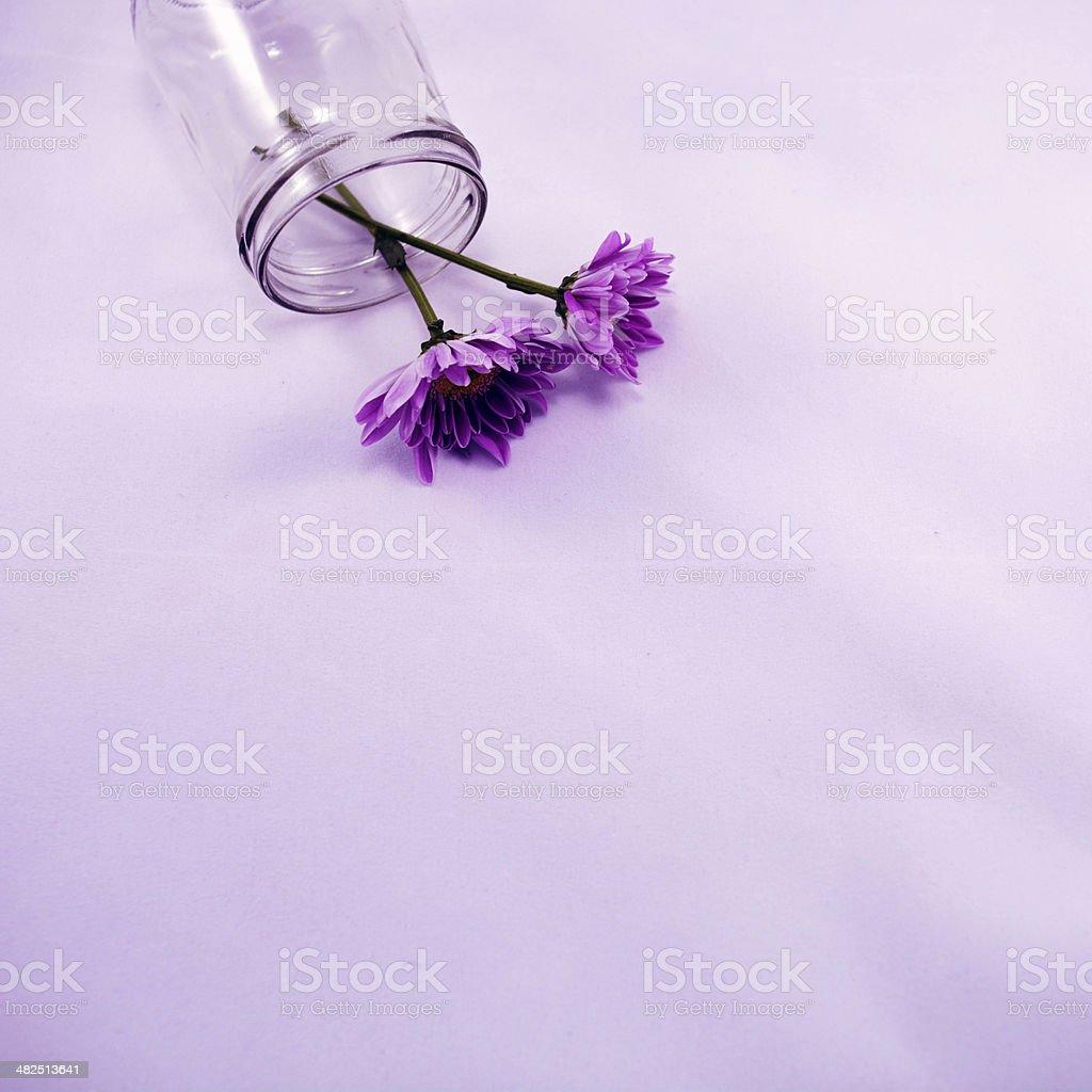 Purple chrysanthemums stock photo