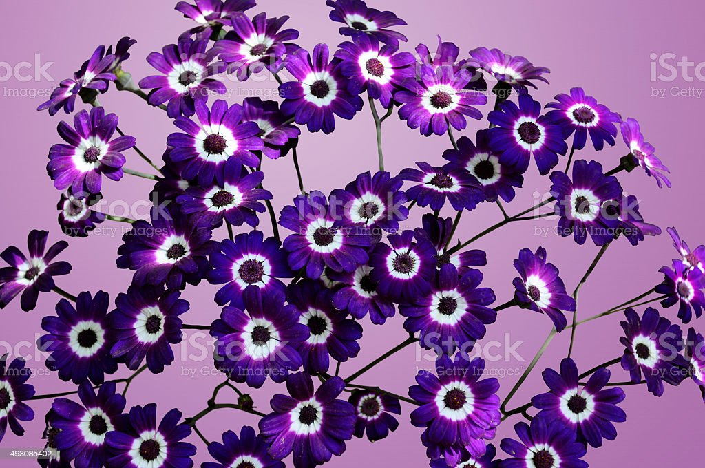 Purple Cineraria Isolated stock photo