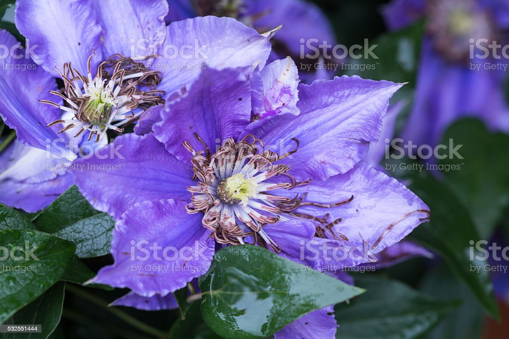 purple clematis blooming in summer stock photo