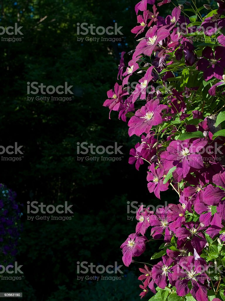 Purple Clematis flower background royalty-free stock photo
